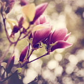 Magnolia flowers background — Stock Photo