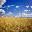 Royalty-Free Stock Photo: Field of yellow wheat and clouds in the sky