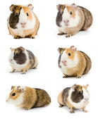 Guineas — Stock Photo