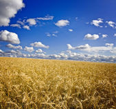 Field of yellow wheat and clouds in the sky — Stock Photo