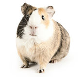 Guinea — Stock Photo