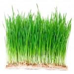 Green wheat grass — Stock Photo #49360325