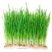 Green wheat grass — Stock Photo