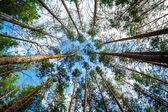 松树森林. — 图库照片