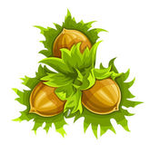 Cluster of three ripe hazelnuts — Stock Vector