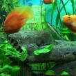 Beautiful aquarium with gold fishes — Stock Video