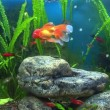 Royalty-Free Stock Vectorielle: Aquarium with goldfish