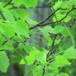 Stock Video: Swinging leaves in rain
