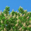 Blossoming chestnut tree — Stockvideo