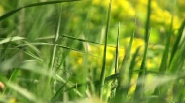 Macro view of fresh green grass weaving by the wind — Stock Video