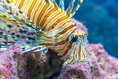 Lionfish in the sea — Stock Photo