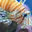 Lionfish in the sea - Stock Photo