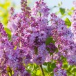 Lilac flowers — Stock Photo #23913563