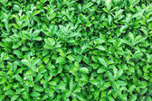 Natural green leaf texture — Stock Photo