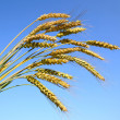 Постер, плакат: Stalks of ripe wheat