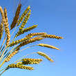 Bunch of wheat ears — Stock Photo
