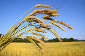 Ripe wheat and farm field — Stock Photo