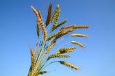Bunch of wheat — Stock Photo