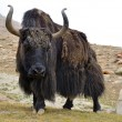 Brown tibetan yak - Stock Photo