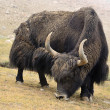 Tibetan yak - Stock Photo