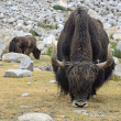 Yaks on pasture - Stock Photo