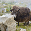 Tibetan yak — Stock Photo