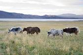 群的牦牛 — 图库照片