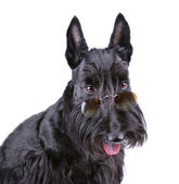 Black Scotch terrier — Stock Photo