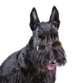 Black Scotch terrier — Stock Photo