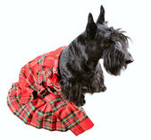 Black dog in kilt — Stock Photo