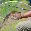 Stock Photo: Big bream in net
