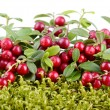 Red cowberry — Stockfoto