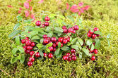 Herfst foxberry — Stockfoto
