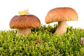 Mushrooms in the moss — Stock Photo