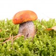 Orange-cap mushroom — Stock Photo