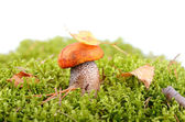 Mushroom in forest — Stock Photo