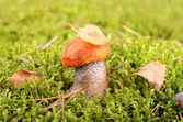 Mushroom in moss — Stock Photo