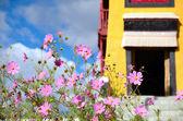Pink cosmos flowers — Stockfoto