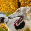 Russian wolfhounds — Stock Photo