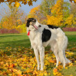 Stock Photo: Black and white borzoi