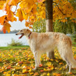 Stock Photo: White borzoi