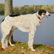 Stock Photo: Young russiborzoi