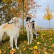 Two russian wolfhounds — Stockfoto