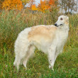 Borzoi dog — Stockfoto