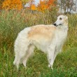Borzoi dog — Foto de Stock