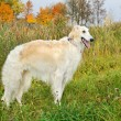 Stock Photo: White russiwolfhound