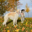 Two russian wolfhounds — Foto Stock