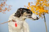 Portrate of russian borzoi — Stock Photo
