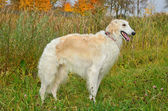White borzoi — Stock Photo