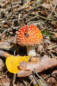Red mushroom — Stock Photo